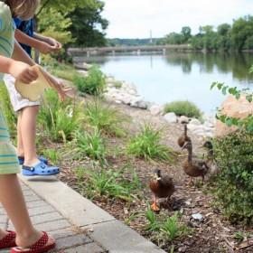 Spring--West-Dundee-Riverwalk-FeedingDucks